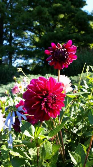 PHOTO: Dahlia 'Diva' and Salvia guaranitica 'Argentina Skies'.