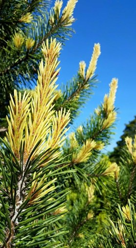 PHOTO: Pinus contorta 'Taylor's Sunburst'.