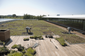 Ellis Goodman Family Foundation Green Roof Garden South in August 2009