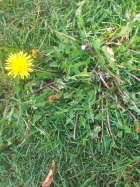 PHOTO: Dandelion blooming in the lawn.