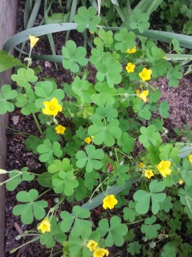 PHOTO: Yellow wood sorrel in bloom.