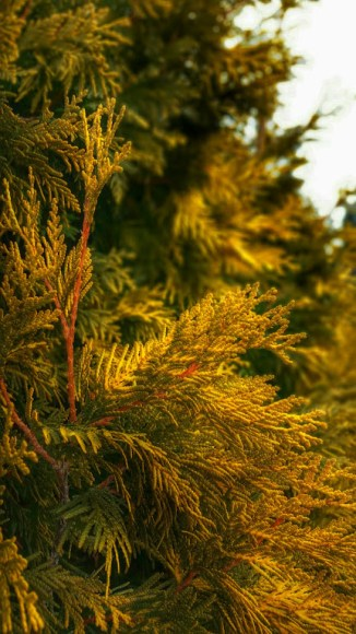 PHOTO: The yellow foliage of this Thuja occidentalis 'Yellow Ribbons' brightens up dreary winter days.