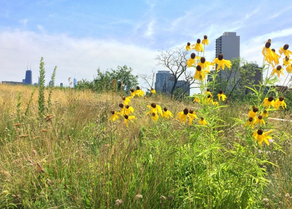 Two prairie species in Dr. Ksiazek-Mikenas' experimental plots blooming on a green roof on the Peggy Notebaert Nature Museum in Chicago