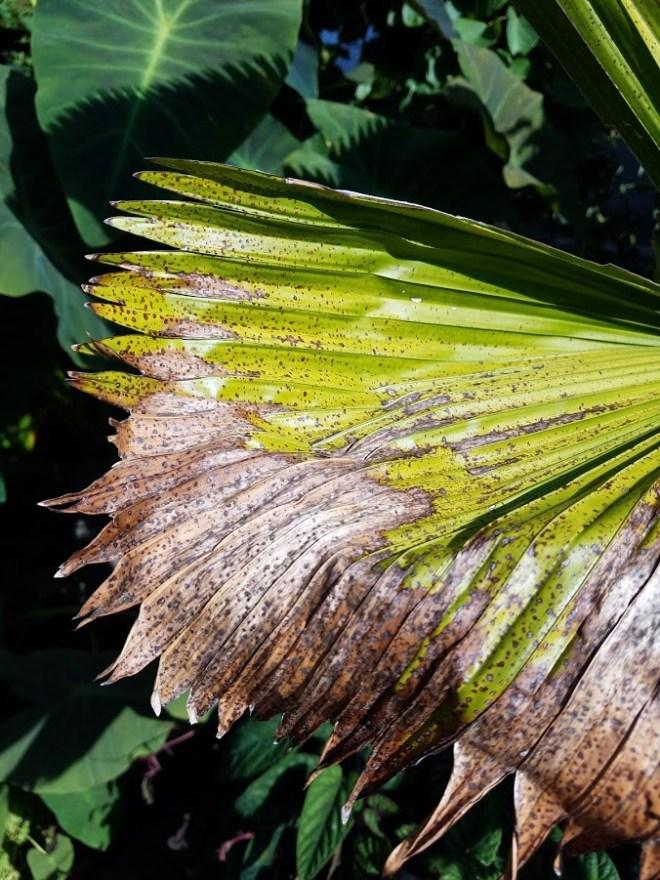 Sunburn causes brown spots on leaves.