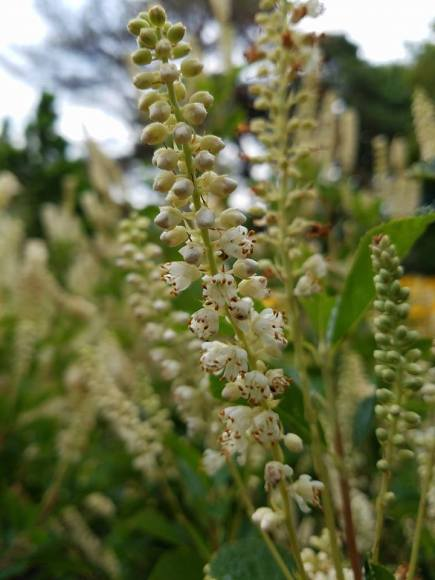 PHOTO: Clethra alnifolia 'September Beauty'
