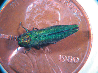 Signs of Emerald Ash Borer