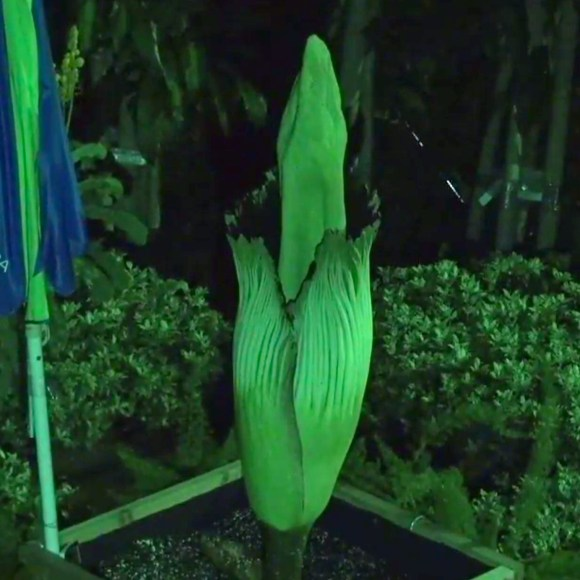 PHOTO: Alice's spathe opened late at night.