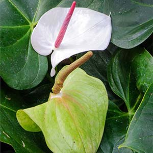 Anthurium andraeanum 'White Heart'