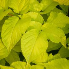 PHOTO: Aralia cordata 'Sun King'
