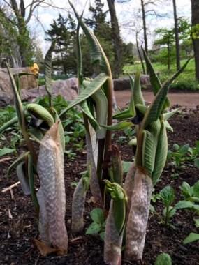 PHOTO: Japanese cobra lily (Arisaema ringens).
