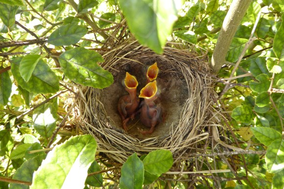 PHOTO: Baby robins chirping; a sign of spring's arrival.