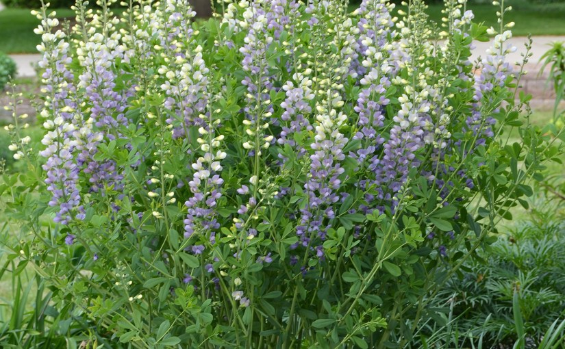 You've Never Seen a Baptisia Like This Before