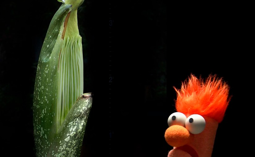 Separated at birth: Beaker and the titan arum.
