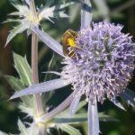 Bee - Megachile 1
