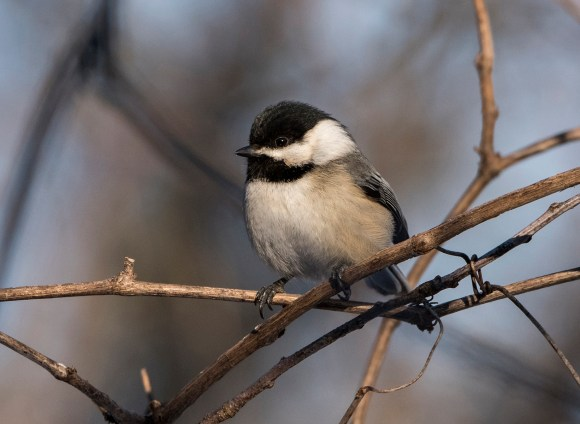 PHOTO: Black-capped chickadee (Poecile atricapillus). Photo © Carol Freeman.