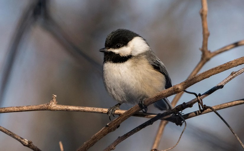 Black-Capped Chickadees Are Preparing for Winter