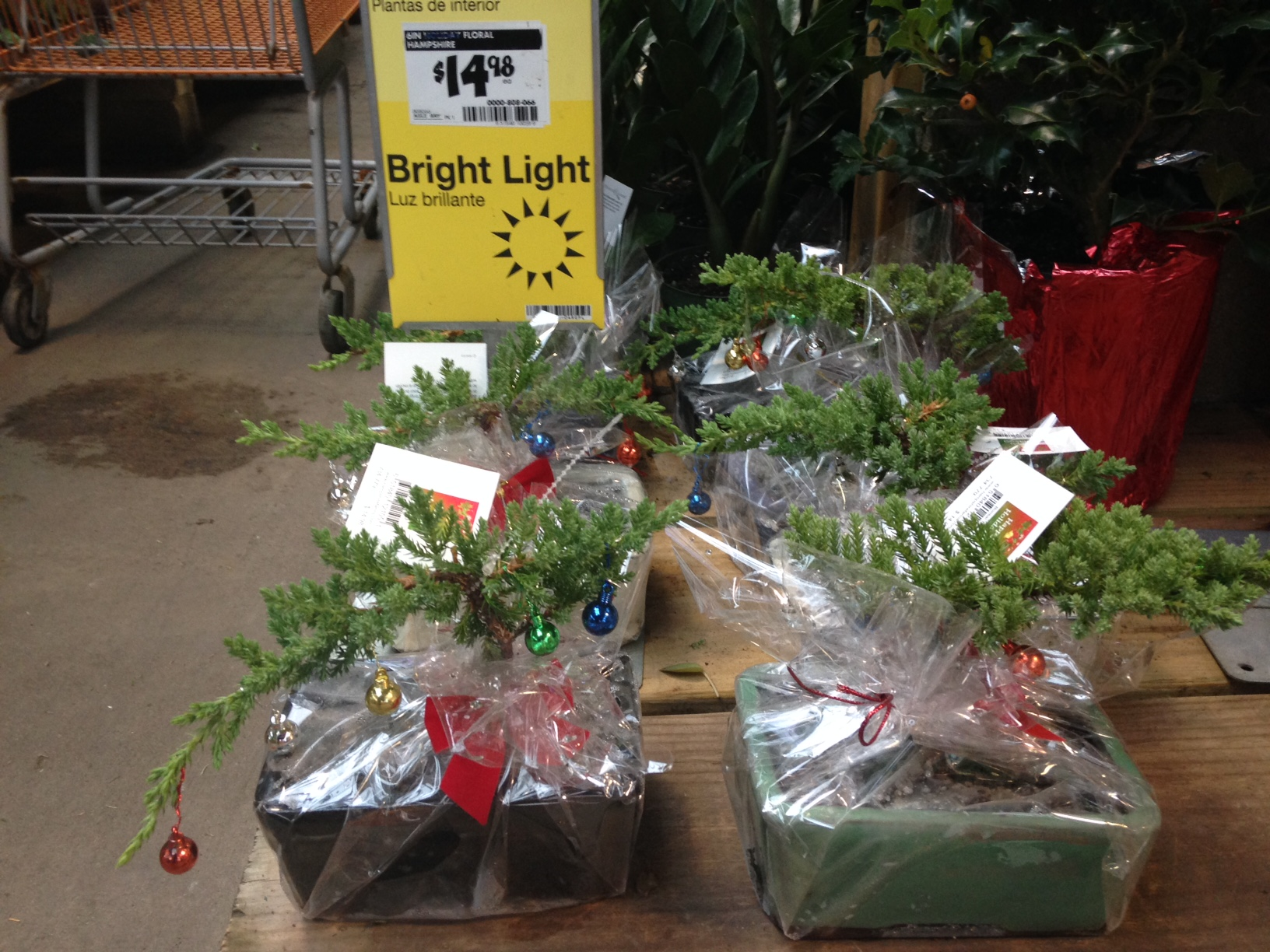 PHOTO: Juniper bonsai for sale at a large garden center.