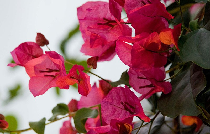 PHOTO: Bougainvillea x buttiana 'Barbara Karst'.