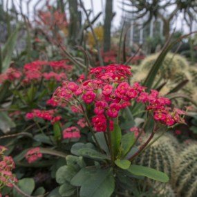 PHOTO: Crown-of-thorns (Euphorbia milii).