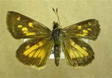 PHOTO: Broad-winged skipper (Poanes viator).