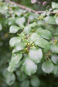 PHOTO: Buckthorn (Rhamnus cathartica).