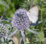 Butterfly - Azure