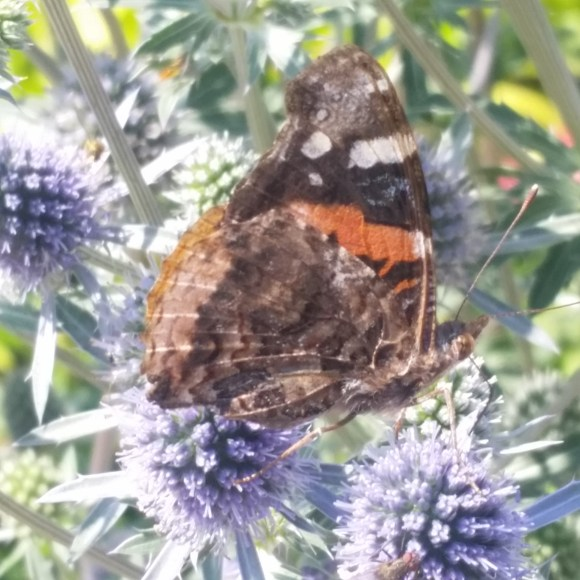 PHOTO: a Red Admiral butterfly is perched on a eryngo flowerhead.