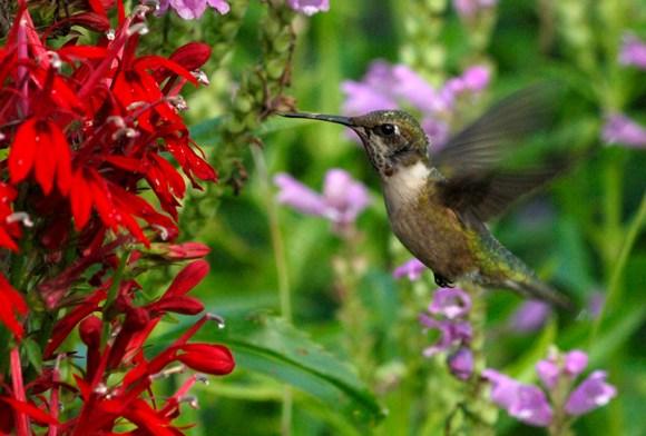 PHOTO: Hummingbird hovering near red salvia.