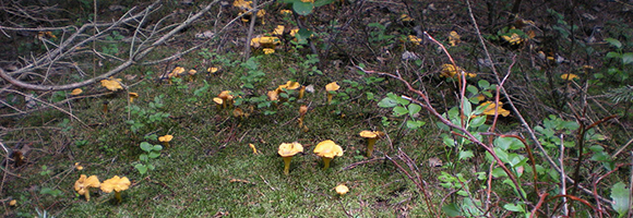 PHOTO: A group of chantarelles found in the woods.
