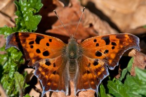 PHOTO: Question Mark butterfly.