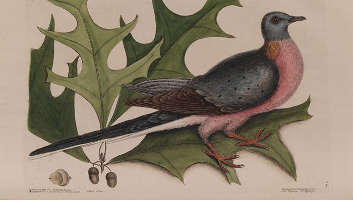 Pigeon illustration by English naturalist Mark Catesby