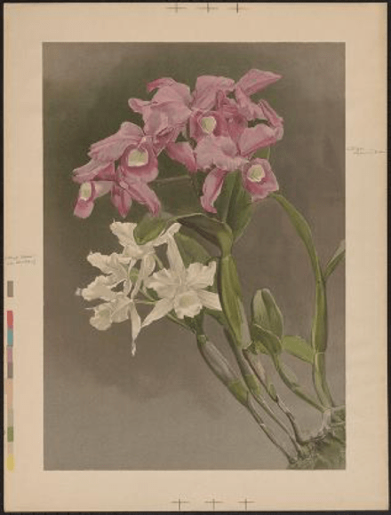 ILLUSTRATION: Cattleya Skinneri var. alba Rchb. f. and Cattleya Skinneri Batem