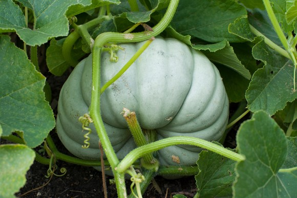 PHOTO: Jarrahdale Australian blue pumpkin.