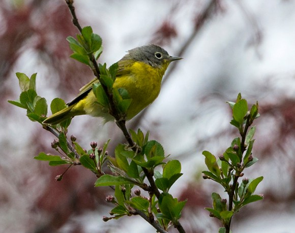 PHOTO: Nashville warbler.
