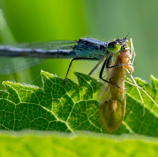 PHOTO: An adult female Eastern Forktail damselfly eating another insect.