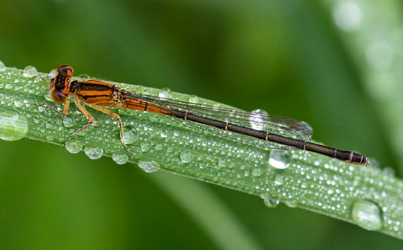 PHOTO: Immature female Eastern Forktail damselfly.