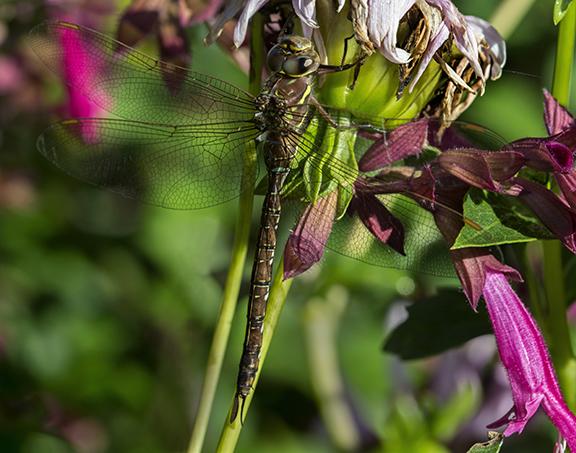 PHOTO: Shadow Darner dragonfly.
