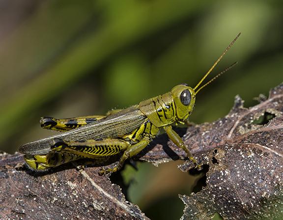 PHOTO: Grasshopper.