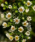 PHOTO: Heath asters.