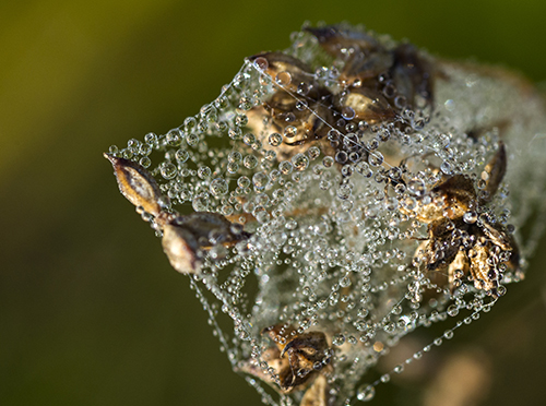 PHOTO: Seedhead covered in dew.
