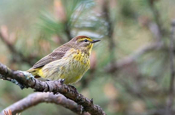 PHOTO: Palm warbler.