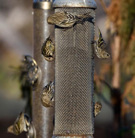 The pine siskins were enjoying the bounty at the Enabling Garden bird feeders.