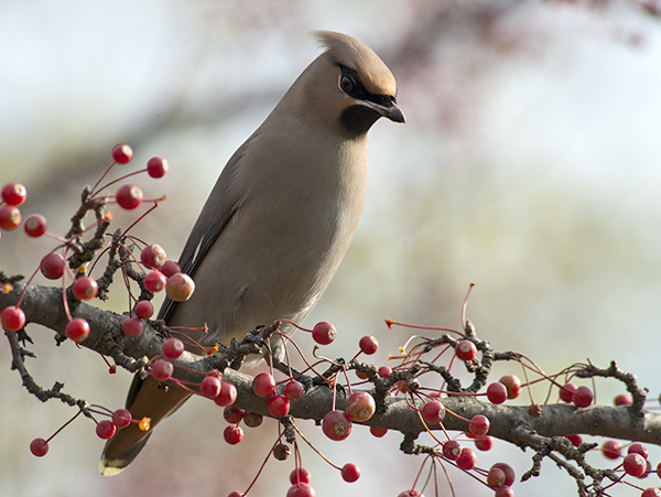 Bohemian Waxwing: Lifer