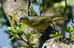Nashville warbler (Leiothlypis ruficapilla)
