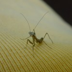 PHOTO: A mantis nymph, newly hatched.