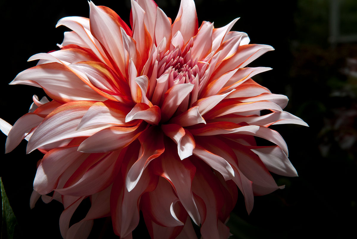What Is It About Dahlias My Chicago Botanic Garden