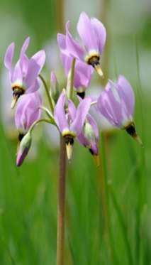 "PHOTO: Closeup of wetlands flower, ""shooting star."""