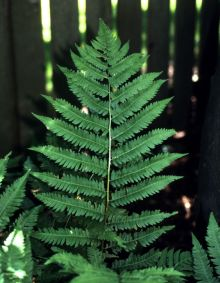 PHOTO: Dryopteris goldiana