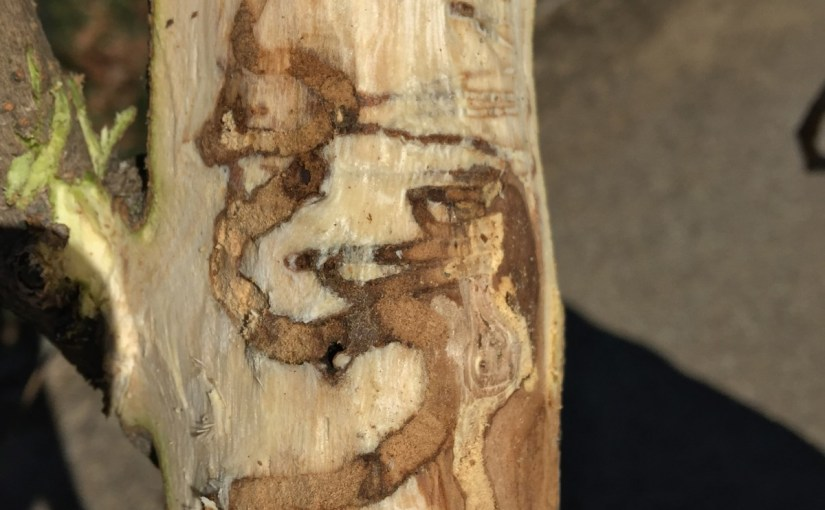 Emerald Ash Borer has a new host: White fringetree (Update)