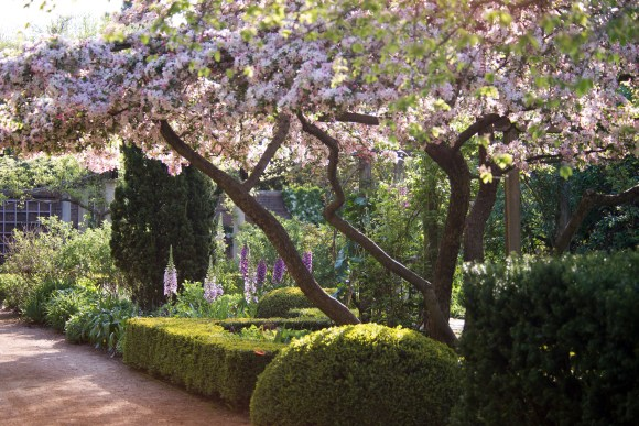 PHOTO: Sunlight shining through apples in spring bloom create dappled shade over foxglove in the English Walled Garden.